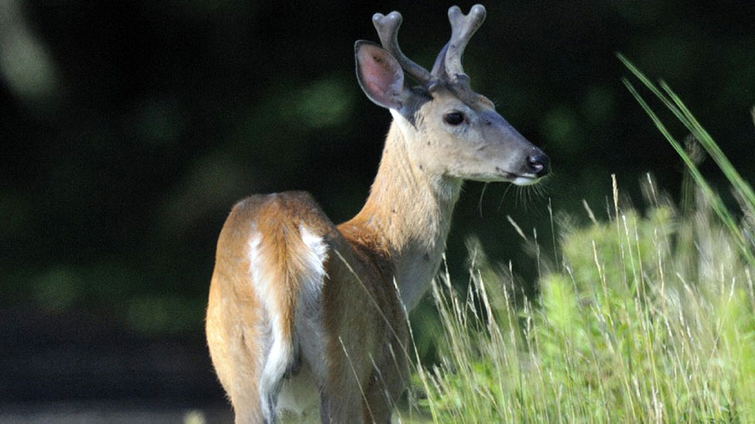 Maine Logs Highest Deer Harvest in Nearly Two Decades