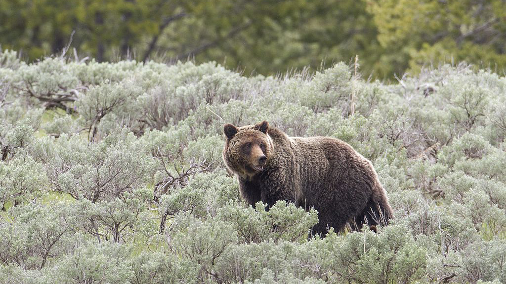 States without Grizzlies Move To Ban Such Hunts Elsewhere