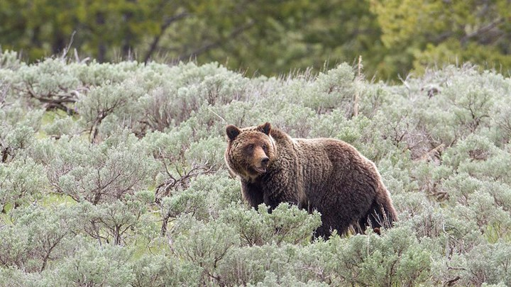 New Bill Aims to End Almost All U.S. Grizzly Bear Hunting