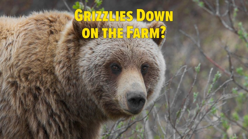 Antis Cry to Close Hunting As Grizzlies Expand Range