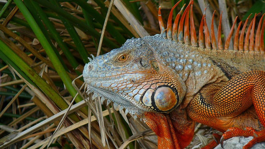 Attack of the Green Iguanas!