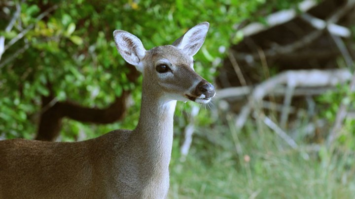 USFWS Seeks to Delist Whitetail Subspecies in Florida Keys