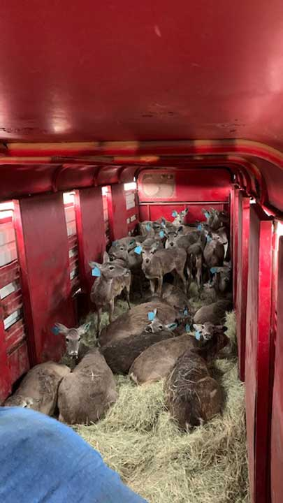 Tagged deer are trapped, transported and translocated to areas in which the deer population has been wiped out by an outbreak of anthrax.