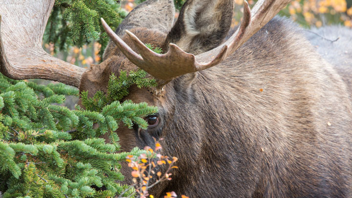 A moose grazes in Isle Royale National Park. (Image by Keith R. Crowley, CrowleyImages.com.)