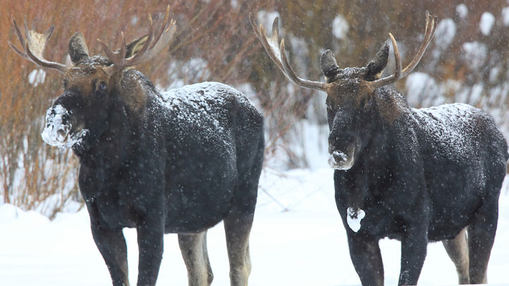 One of the intriguing questions biologists hope to answer in the wolf-moose study taking place at Isle Royale National Park is why the size of moose skulls have shrunk 16 percent over the last 40 years.