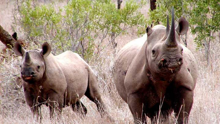 Black rhinos lost a friend today with the assassination of Lt. Col. Leroy Brewer in South Africa. (Image by Karl Stromayer, USFWS.)