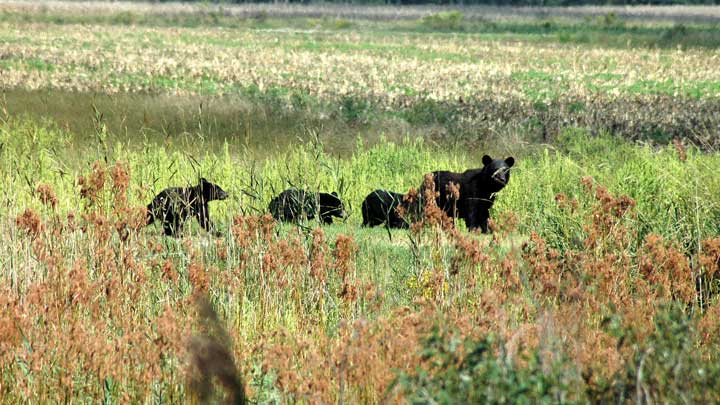 New Jersey black bears have a birth rate that nearly doubles the birth rate of black bears in other states. (Image by Garry Tucker, USFWS.)