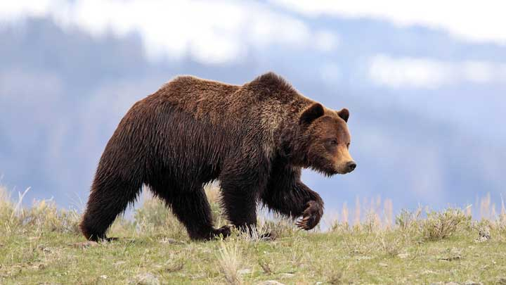 Grizzly bear can be tasty or not, often depending on where it is, what season it is and how old the bear is. (Image by Keith Crowley.)