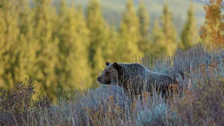 Hunters need to take control of the hunting narrative, including explaining why, or why not, we consume grizzly bear meat. (Image by Keith Crowley.)