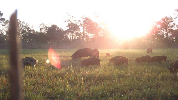 Wild pigs are invasive species so you can hunt them in spring and throughout the year. The NRA and other outdoor groups are hoping to convince government officials at all levels to lift any and all hunting bans during COVID-19. (Image courtesy of Florida Fish and Wildlife Conservation Commission.)