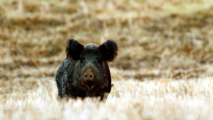 Hog Wild: A Hunter's View of America's Feral Swine Invasion