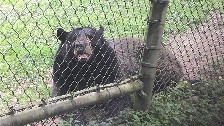 New Jersey Bear Hunt Restrictions Lead to Increased Human-Bear Conflicts
