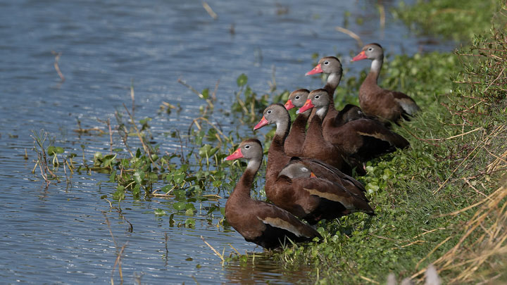 black bellied whistling ducks stand by water