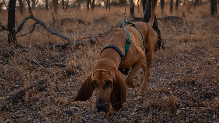 scent hound on the trail of poachers in south africa
