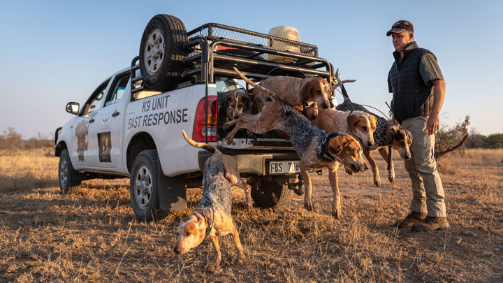 dog handler releases scent hounds from their cages in truck