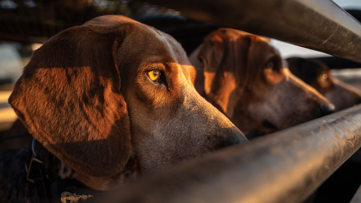 scent hounds await their release inside their cage