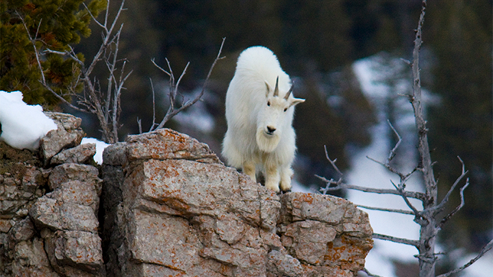 mountain goat stands on rocky crag